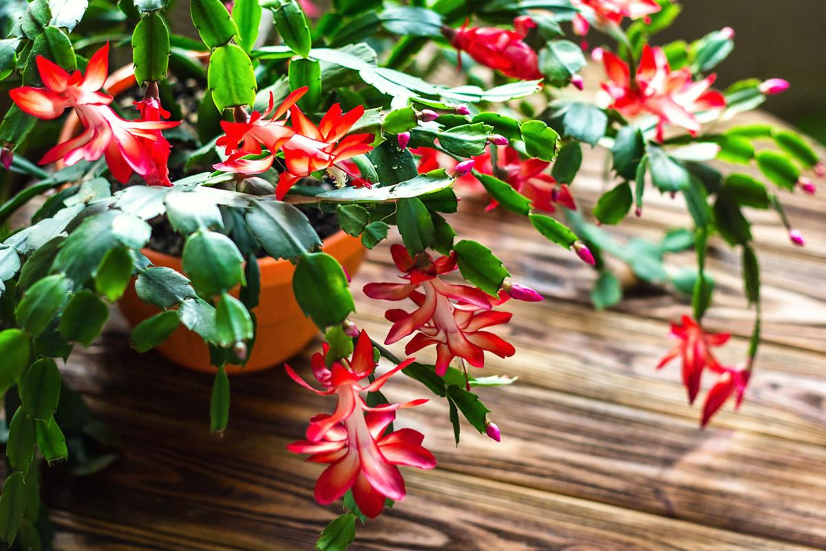 4 Reasons to Give the Gift of a Christmas Cactus This Holiday Season