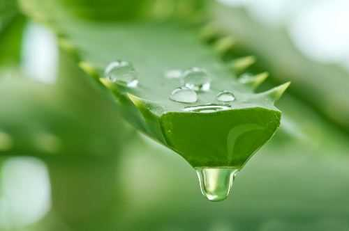 Uses for Aloe Vera