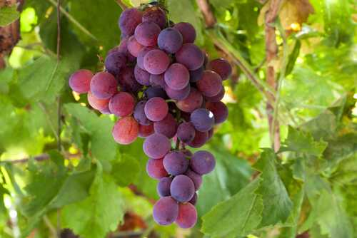 Red Grapes and Red Wine